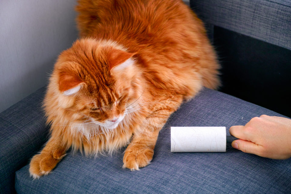 Woman hand with Lint roller removing animal hairs and fluff from gray couch.